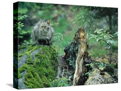 Wildcat in Woodland Habitat, Bayerischer Wald National Park, Germany-Norbert Rosing-Stretched Canvas Print