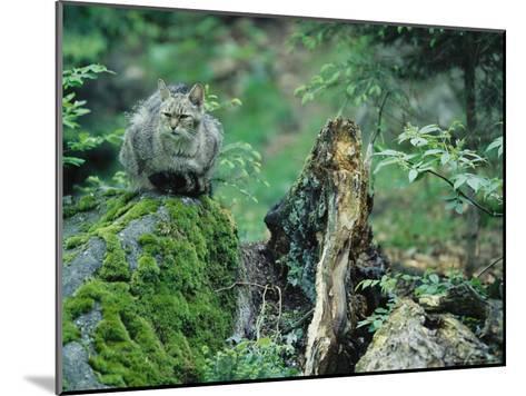 Wildcat in Woodland Habitat, Bayerischer Wald National Park, Germany-Norbert Rosing-Mounted Photographic Print