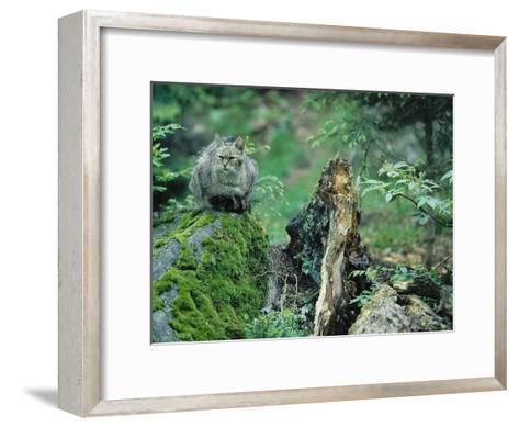 Wildcat in Woodland Habitat, Bayerischer Wald National Park, Germany-Norbert Rosing-Framed Art Print