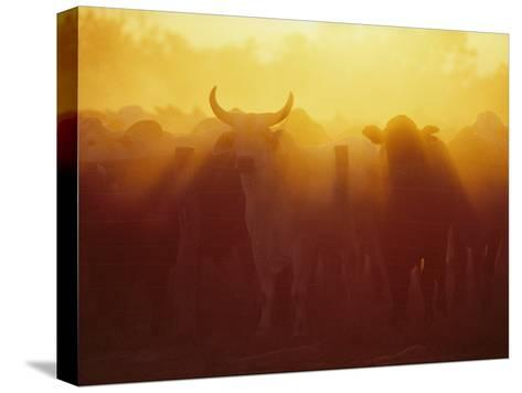 Cattle Gather at a Watering Hole at Sunset--Stretched Canvas Print