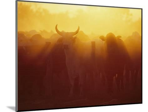 Cattle Gather at a Watering Hole at Sunset--Mounted Photographic Print