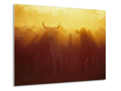 Cattle Gather at a Watering Hole at Sunset--Metal Print