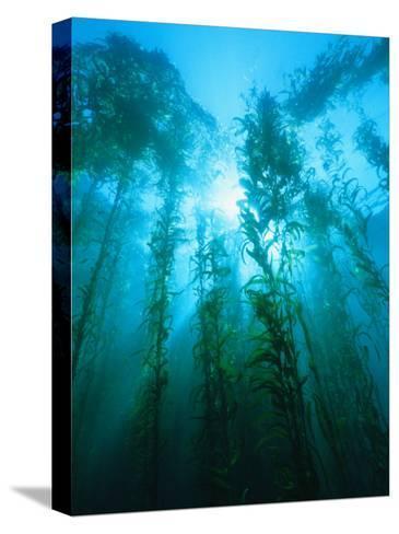 Kelp Forest Underwater, Tasmania, Australia-Joe Stancampiano-Stretched Canvas Print