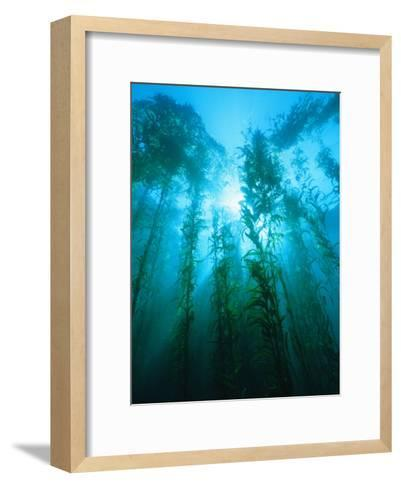 Kelp Forest Underwater, Tasmania, Australia-Joe Stancampiano-Framed Art Print