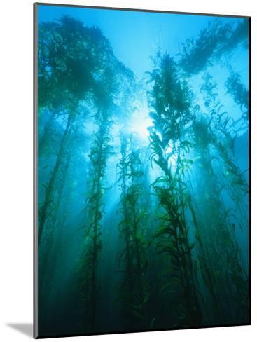 Kelp Forest Underwater, Tasmania, Australia-Joe Stancampiano-Mounted Photographic Print