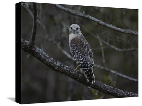 A Red-Shouldered Hawk Sits on a Tree Branch-Bates Littlehales-Stretched Canvas Print