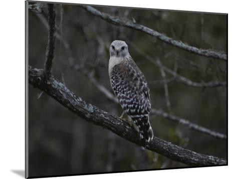 A Red-Shouldered Hawk Sits on a Tree Branch-Bates Littlehales-Mounted Photographic Print