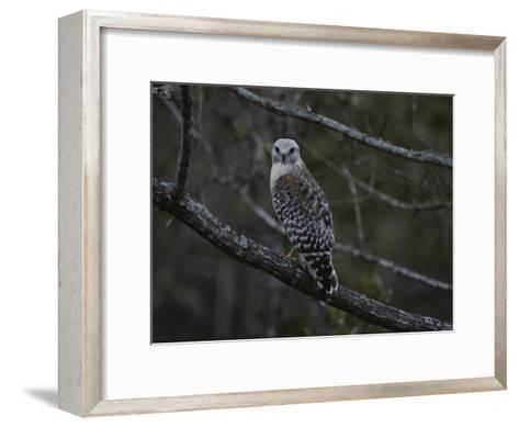 A Red-Shouldered Hawk Sits on a Tree Branch-Bates Littlehales-Framed Art Print