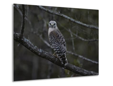 A Red-Shouldered Hawk Sits on a Tree Branch-Bates Littlehales-Metal Print