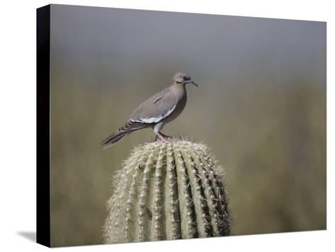 A White-Winged Dove on a Saguaro Cactus-Bates Littlehales-Stretched Canvas Print
