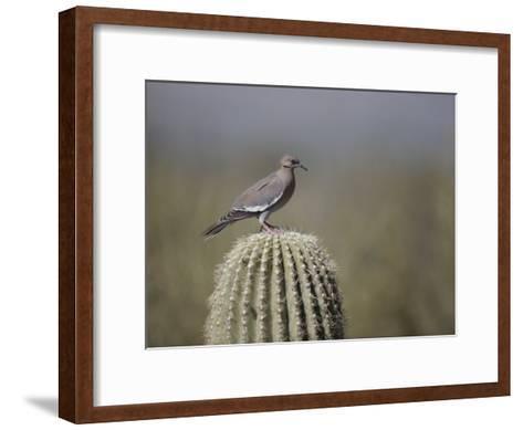 A White-Winged Dove on a Saguaro Cactus-Bates Littlehales-Framed Art Print