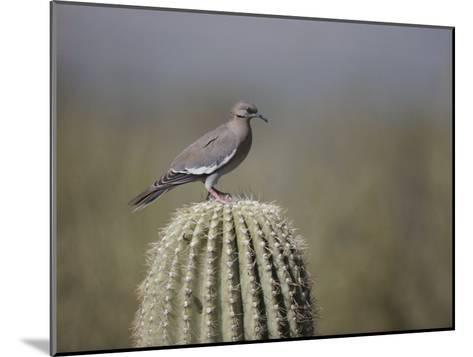 A White-Winged Dove on a Saguaro Cactus-Bates Littlehales-Mounted Photographic Print