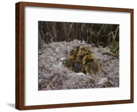 Close View of Canada Goslings Huddled in Their Nest--Framed Art Print