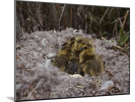 Close View of Canada Goslings Huddled in Their Nest--Mounted Photographic Print