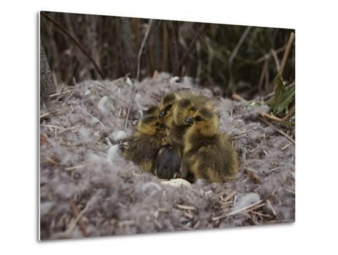 Close View of Canada Goslings Huddled in Their Nest--Metal Print