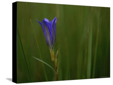 Close View of Gentian Flower-Mattias Klum-Stretched Canvas Print