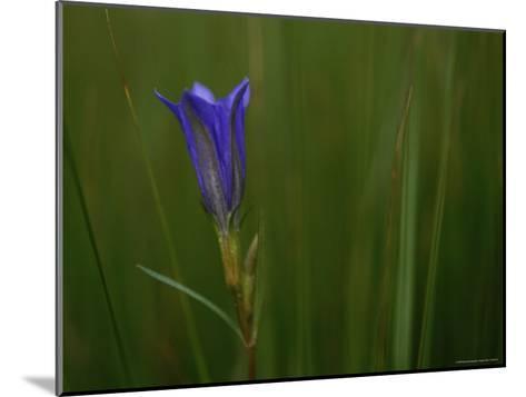 Close View of Gentian Flower-Mattias Klum-Mounted Photographic Print