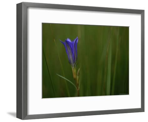 Close View of Gentian Flower-Mattias Klum-Framed Art Print