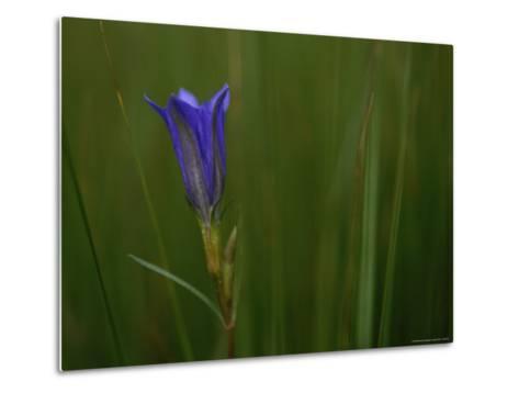 Close View of Gentian Flower-Mattias Klum-Metal Print