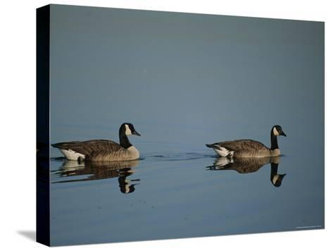 Pair of Canada Geese (Branta Canadensis)-Raymond Gehman-Stretched Canvas Print