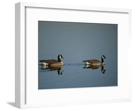 Pair of Canada Geese (Branta Canadensis)-Raymond Gehman-Framed Art Print