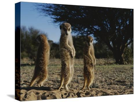 Three Meerkats with Paws Poised Neatly in Front of Their Stomachs-Mattias Klum-Stretched Canvas Print