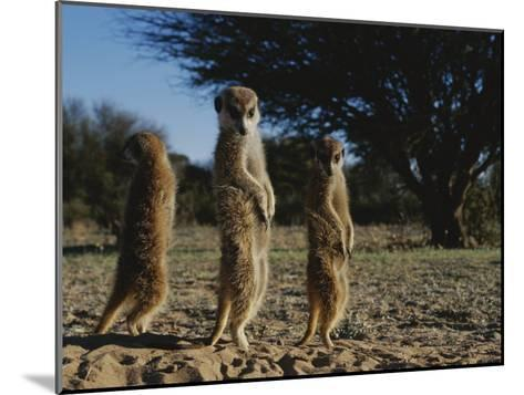 Three Meerkats with Paws Poised Neatly in Front of Their Stomachs-Mattias Klum-Mounted Photographic Print