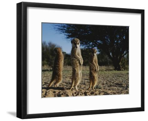 Three Meerkats with Paws Poised Neatly in Front of Their Stomachs-Mattias Klum-Framed Art Print