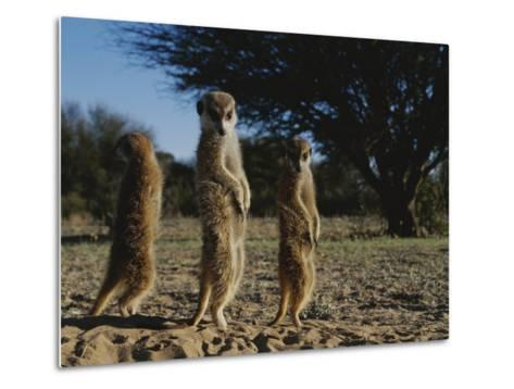 Three Meerkats with Paws Poised Neatly in Front of Their Stomachs-Mattias Klum-Metal Print