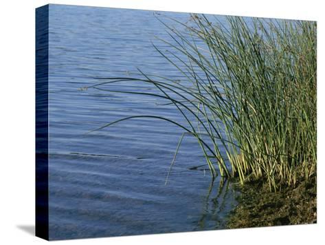 Reeds Along the Shore of Black Hill Lake, Black Hill Regional Park-Brian Gordon Green-Stretched Canvas Print