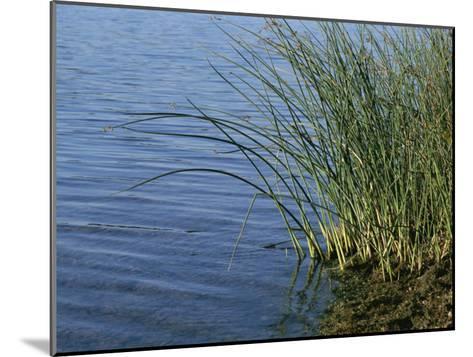 Reeds Along the Shore of Black Hill Lake, Black Hill Regional Park-Brian Gordon Green-Mounted Photographic Print