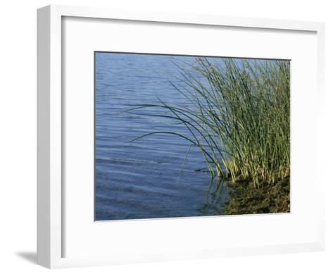 Reeds Along the Shore of Black Hill Lake, Black Hill Regional Park-Brian Gordon Green-Framed Art Print