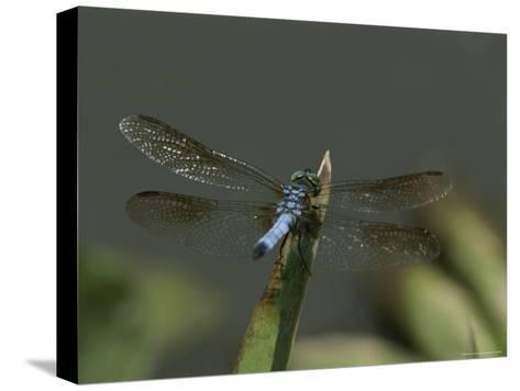 Eastern Pondhawk Skimmer Resting on a Leaf with its Wings Spread-Brian Gordon Green-Stretched Canvas Print
