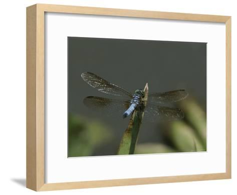 Eastern Pondhawk Skimmer Resting on a Leaf with its Wings Spread-Brian Gordon Green-Framed Art Print