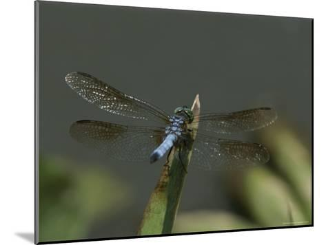 Eastern Pondhawk Skimmer Resting on a Leaf with its Wings Spread-Brian Gordon Green-Mounted Photographic Print