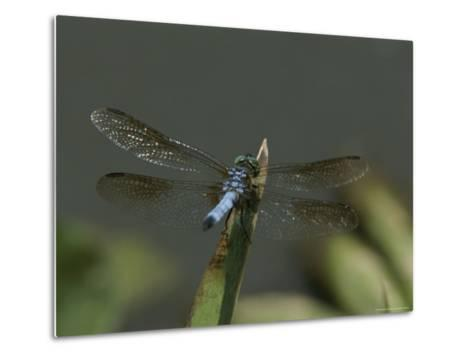 Eastern Pondhawk Skimmer Resting on a Leaf with its Wings Spread-Brian Gordon Green-Metal Print
