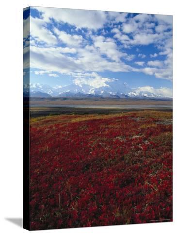 Bear Berries, Mt. Mckinley, AK-John Luke-Stretched Canvas Print