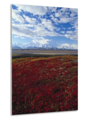 Bear Berries, Mt. Mckinley, AK-John Luke-Metal Print