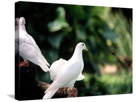 Doves-Bill Romerhaus-Stretched Canvas Print