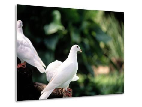 Doves-Bill Romerhaus-Metal Print