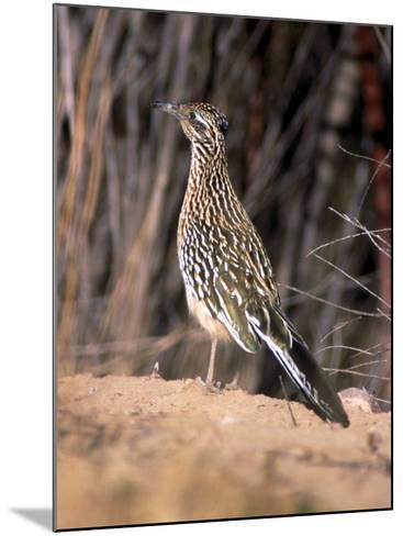Greater Roadrunner, New Mexico-Elizabeth DeLaney-Mounted Photographic Print