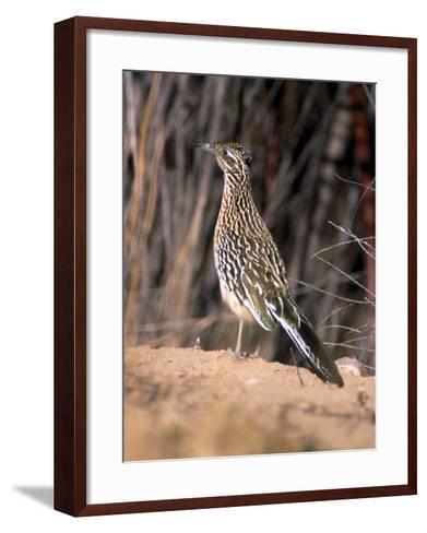 Greater Roadrunner, New Mexico-Elizabeth DeLaney-Framed Art Print