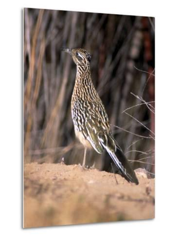 Greater Roadrunner, New Mexico-Elizabeth DeLaney-Metal Print