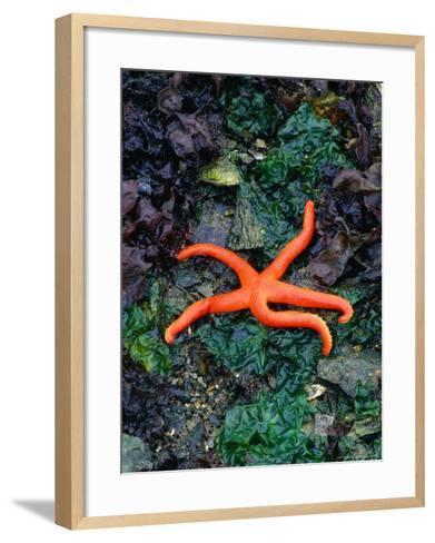 Orange Starfish on Rocks-Amy And Chuck Wiley/wales-Framed Art Print