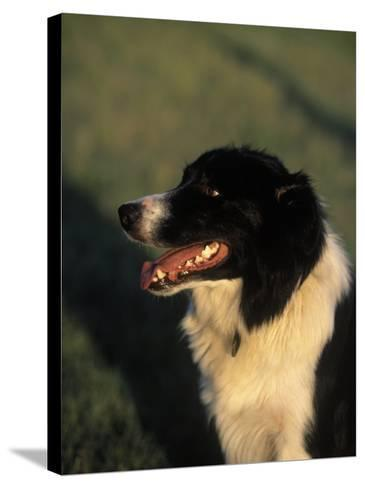 Border Collie Dog Outdoors-Peggy Koyle-Stretched Canvas Print