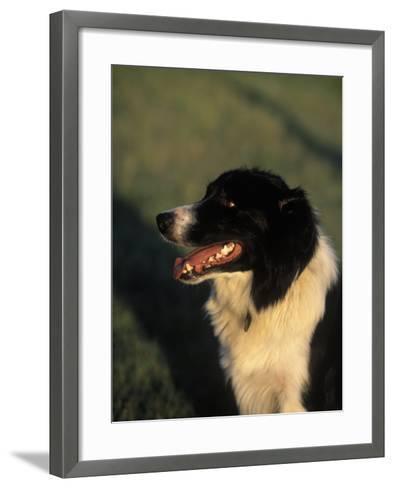 Border Collie Dog Outdoors-Peggy Koyle-Framed Art Print