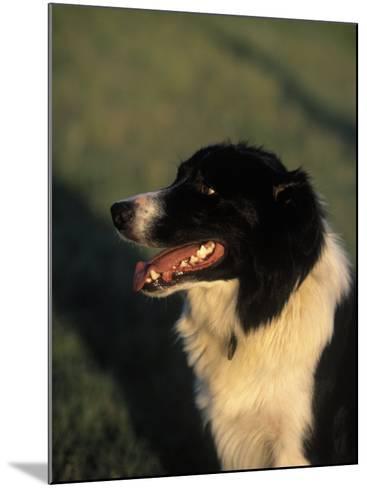 Border Collie Dog Outdoors-Peggy Koyle-Mounted Photographic Print