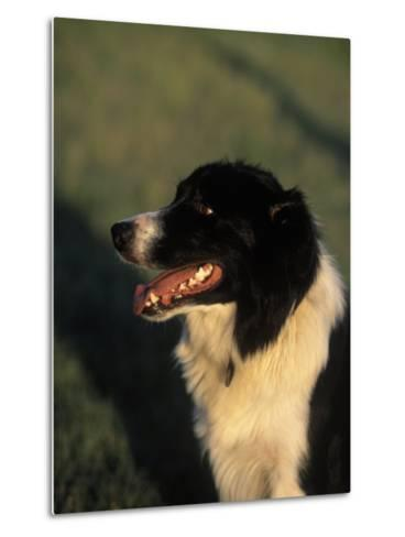 Border Collie Dog Outdoors-Peggy Koyle-Metal Print