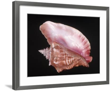 Conch Shell-Bill Keefrey-Framed Art Print