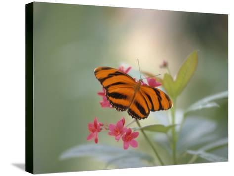 Close-up of Butterfly, St. Croix, VI-Ed Lallo-Stretched Canvas Print